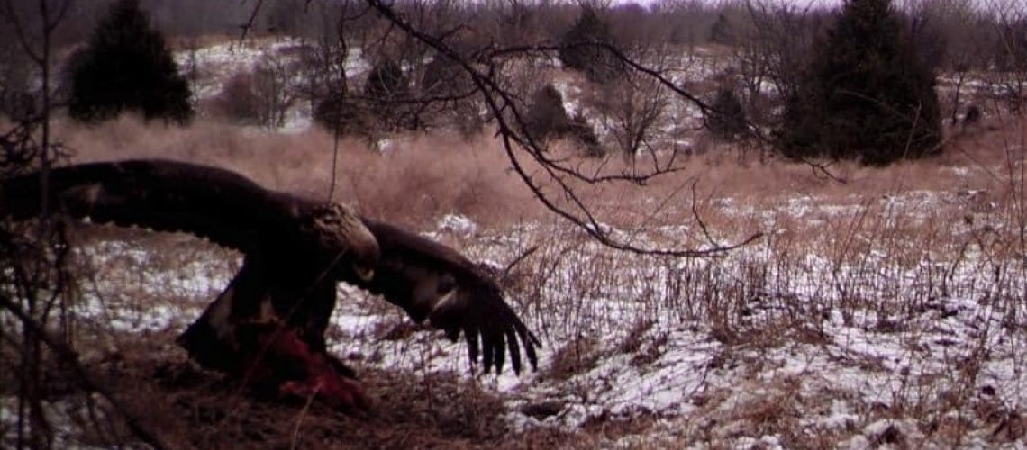Golden Eagle on a Beaver carcass at Gallatin County Illinois, photo by Mike Sheffer