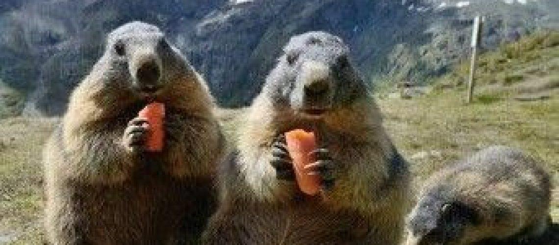 Groundhog,Woodchuck, Marmot Totem