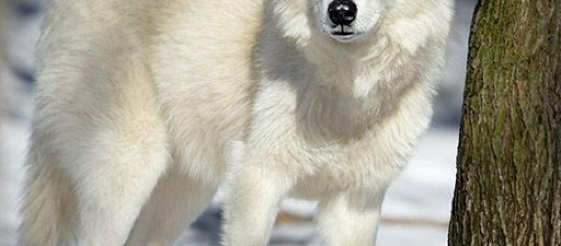 Snow Wolf